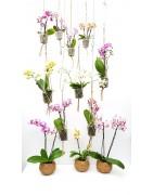 Nos Orchidées